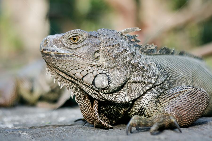 Iguana by Roland Roger - Animals Reptiles ( wild, other, iguana, reptile, animal )