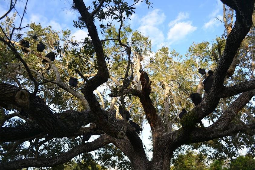Американская чёрная катарта, или урубу. Национальный парк Эверглейдс, Флорида (Everglades National Park, FL)