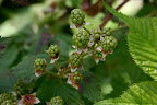A wee bit of rain this month and we'll have a wonderful blackberry crop.