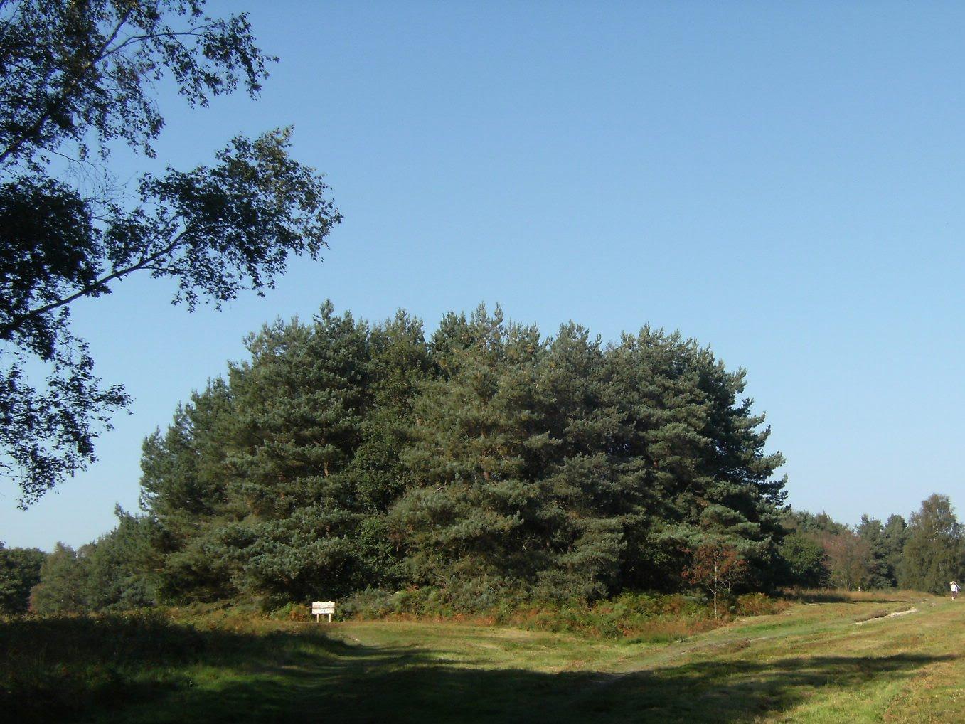 DSCF9808 MacMillan Clump, Ashdown Forest