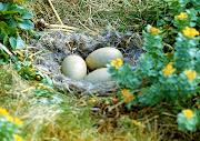 1977 г. Кладка яиц полярной утки гага