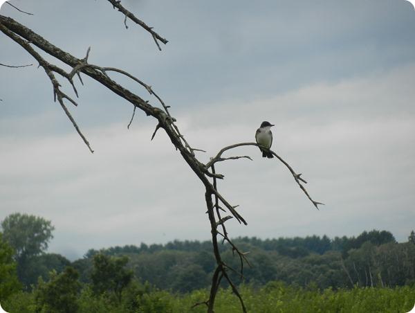IMG_7611a Eastern Kingbird Bird (5)