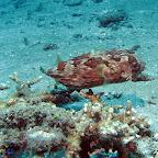 Porcupinefish (Padangbai, Bali)
