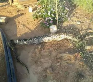 WTF!! See What Happened To This Huge Python After Swallowing Several Puppies (Photos)