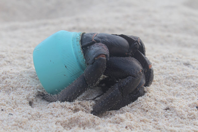 On Henderson Island, a small island in the middle of the South Pacific that has never been inhabited by people, a purple hermit crab uses an Avon cosmetic bottle in lieu of a seashell. Photo: Jennifer Lavers