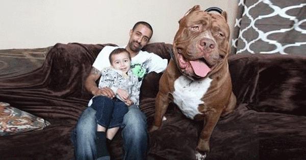 Pitbull Hulk Menjadi Anjing Terbesar Di Dunia