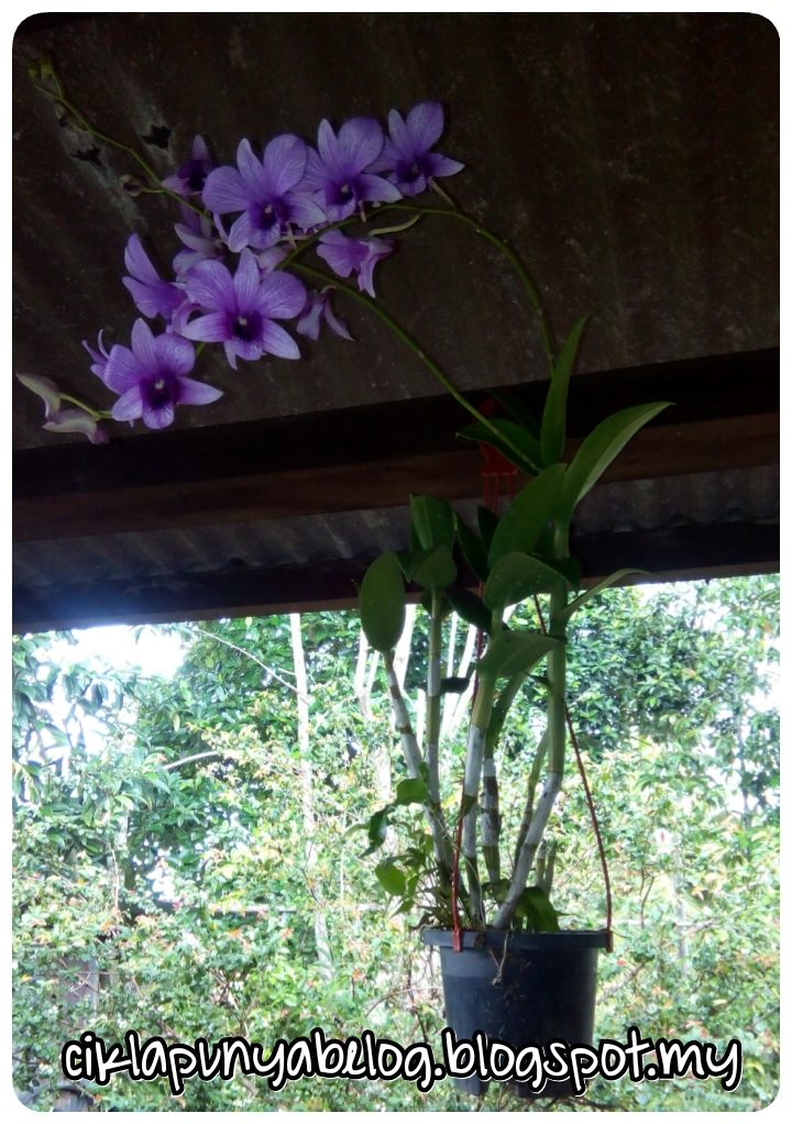 Bila orkidku berbunga....