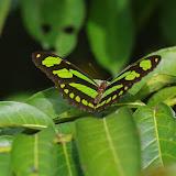 Philaethria pygmalion metaensis Constantino & Salazar, 2010. Finca La Graciela, 239 m (Tamarindo, Casanare, Colombie), 5 novembre 2015. Photo : J.-M. Gayman