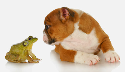 bulldog and bullfrog - english bulldog and bullfrog isolated on white background