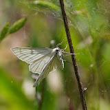 Geometridae : Ennominae : Siona lineata (SCOPOLI), 1763. Hautes-Lisières (Rouvres, 28), 13 mai 2011. Photo : J.-M. Gayman