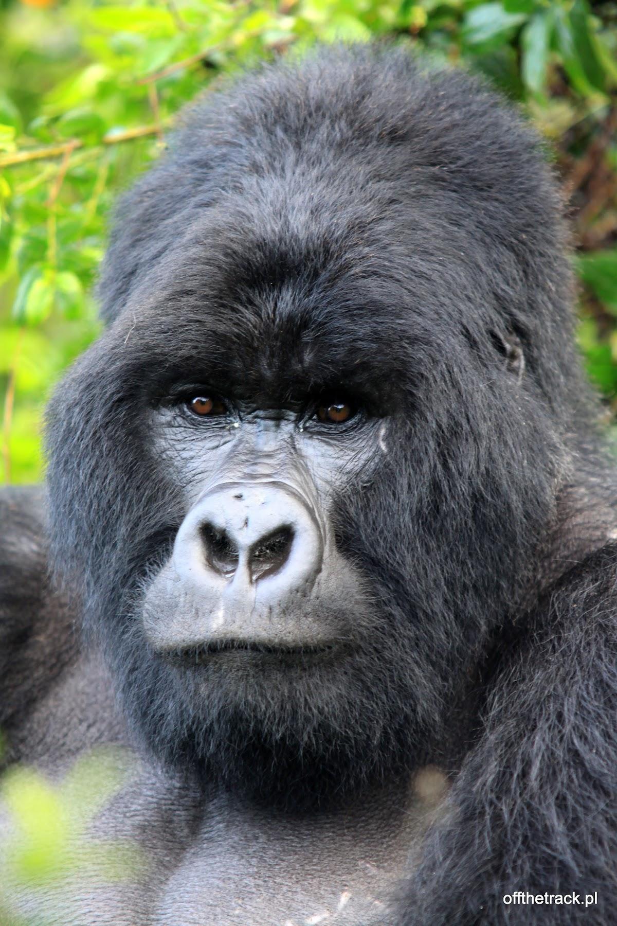 Twarz goryla silverback, The Virunga massif region, Uganda