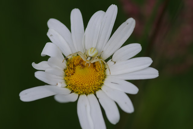 Thomisidae : Misumena vatia (Clerck, 1757). Les Hautes-Lisières (Rouvres, 28), 1er juin 2015. Photo : J.-M. Gayman