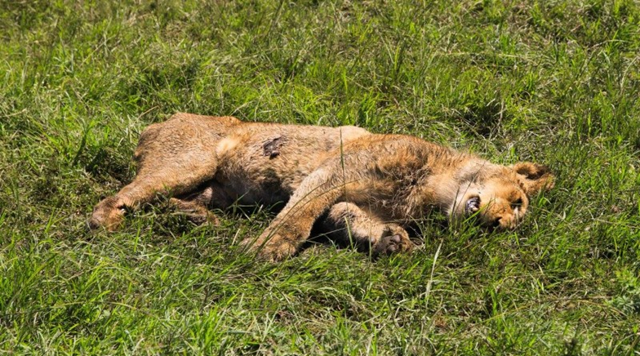 A dead lion, poisoned cow meat by poachers in the Masai Mara Game reserve, 11 December 2015. Photo: The Marsh Pride of Lions
