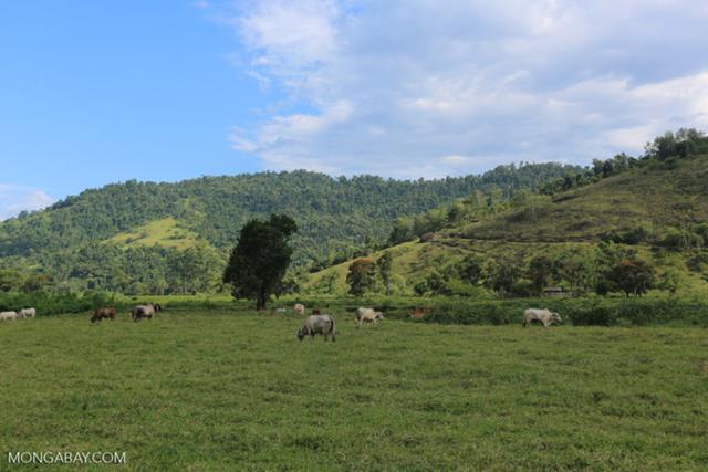 Cattle grazing on a deforested land in Brazil. Photo: Rhett Butler