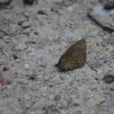 Aphantopus hyperantus (L., 1758), femelle. Chemin de La Rodé, 600 m, Cocurès (Lozère), 6 août 2013. Photo : J.-M. Gayman
