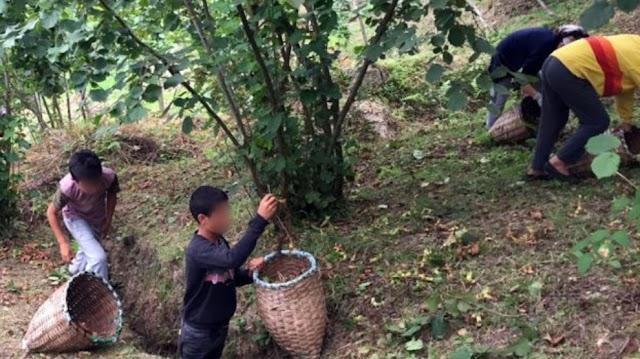 Nutella'nın fındıkları Kürt çocuklarına toplattırılıyor