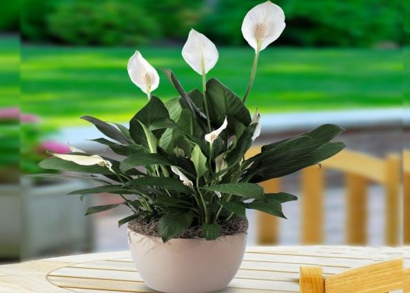 Bunga Peace Lily (Spathiphyllum)