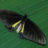 Troides oblongomaculatus papuensis WALLACE, 1865, Warkapi, Arfak, fin août 2007. Photo : G. Zakine