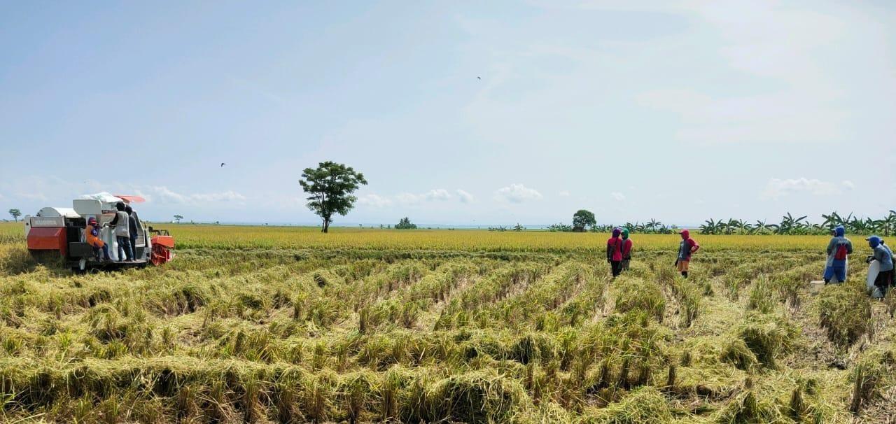Kementan Jamin Stok Pangan Aman, Penyuluh dan Petani di Sidrap Semagat Panen Padi Ditengah Covid 19
