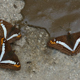 Limenitidinae : Adelpha alala HEWITSON, 1847. San Antonio, route de Satipo (Junin, Pérou), 6 janvier 2011. Photo : Meena