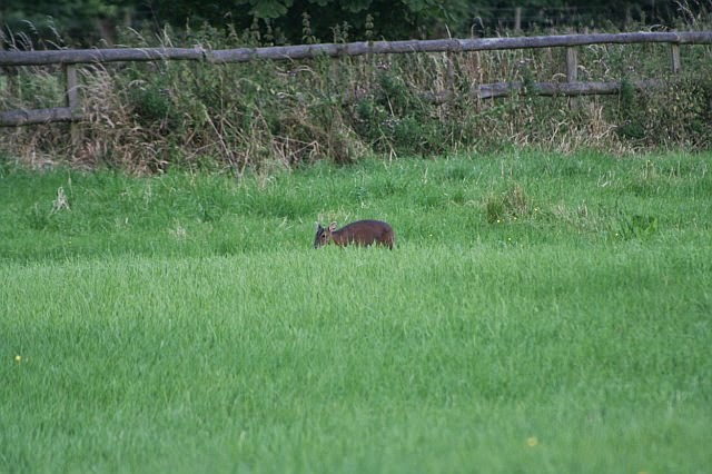 Woodhurst Wildlife Muntjac In The Grassfield - muntjac07.jpg