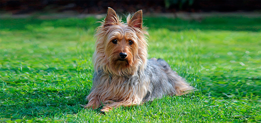 Las razas de perros. El Silky Terrier Australiano