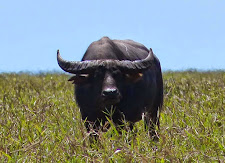 Buffalo have a way of looking at you, like you owe them money!!