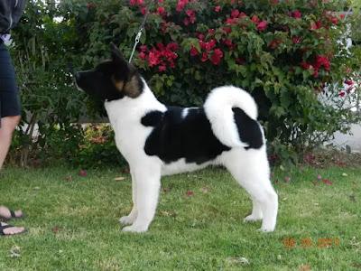 كلب اكيتا اينو معلومات شاملة عن كلاب الاكيتا صفات تدريب طباع أصل السلالة صور وفيديو