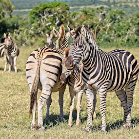 Family by Anne-Marie  Fuller  - Animals Other Mammals ( zebras, nature, nature up close, nature photography, wildlife,  )