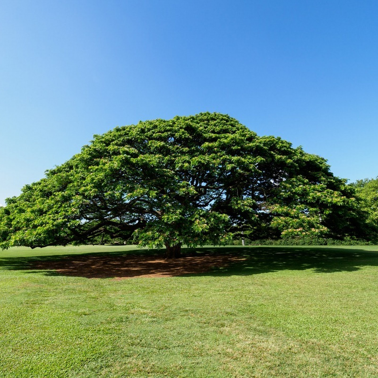 The Hitachi Tree of Moanalua Gardens