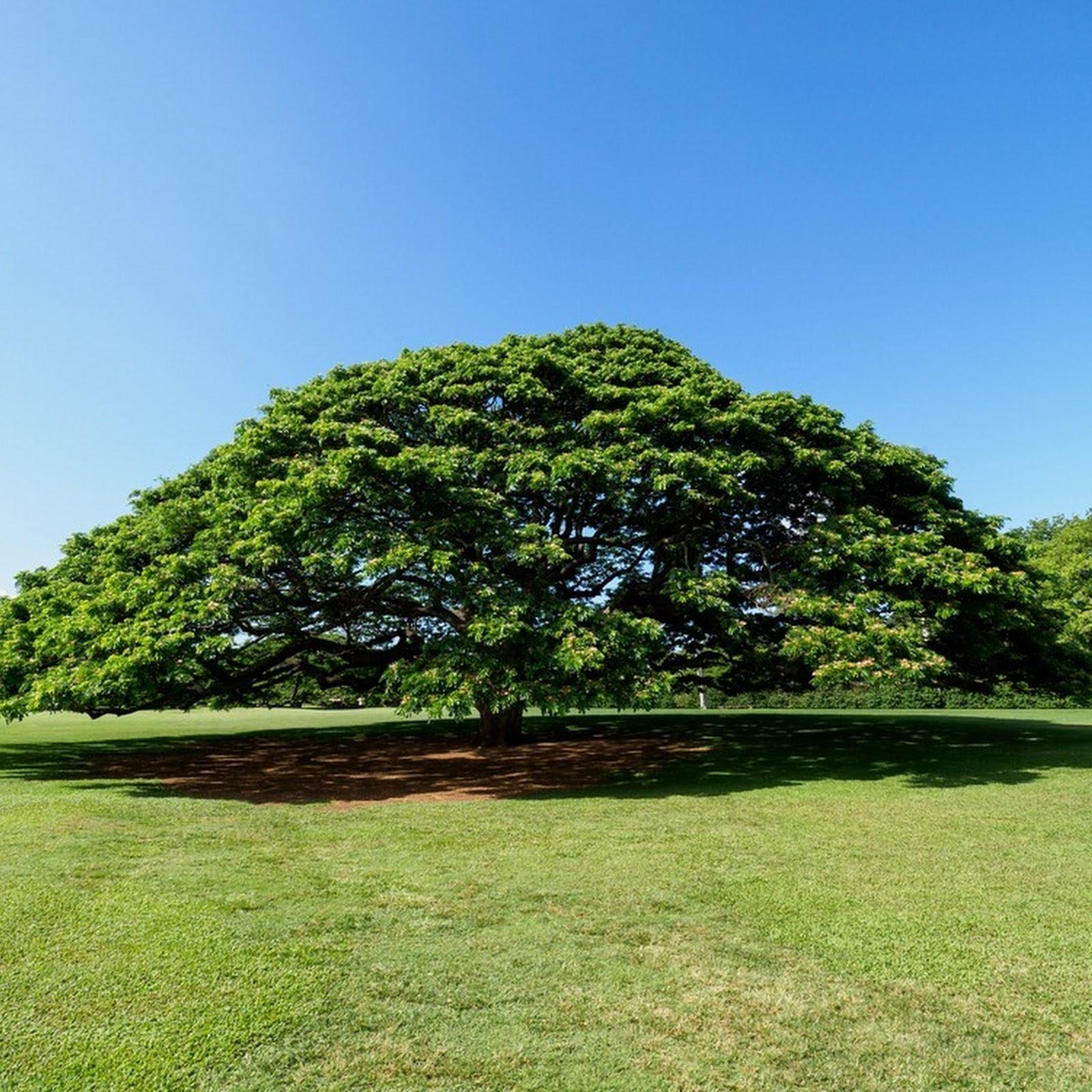 The Hitachi Tree of Moanalua Gardens