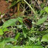 Vanessa indica indica VANE-WRIGHT & HUGHES, 2007 (2100 m). Shaxi (Yunnan), 12 août 2010. Photo : J.-M. Gayman