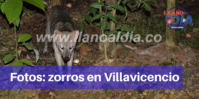 EN FOTOS: LOS ZORROS PERRUNOS QUE LLEGAN A VILLAVICENCIO