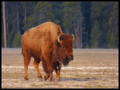 Buffalo, Between Madison Junction and Old Faithful, Yellowstone May 7, 2016