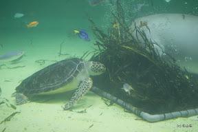大きな亀と大きなジュゴンが仲良く海草をつついてました。