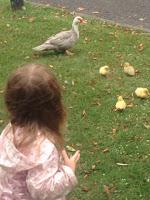 Ducks of Ely