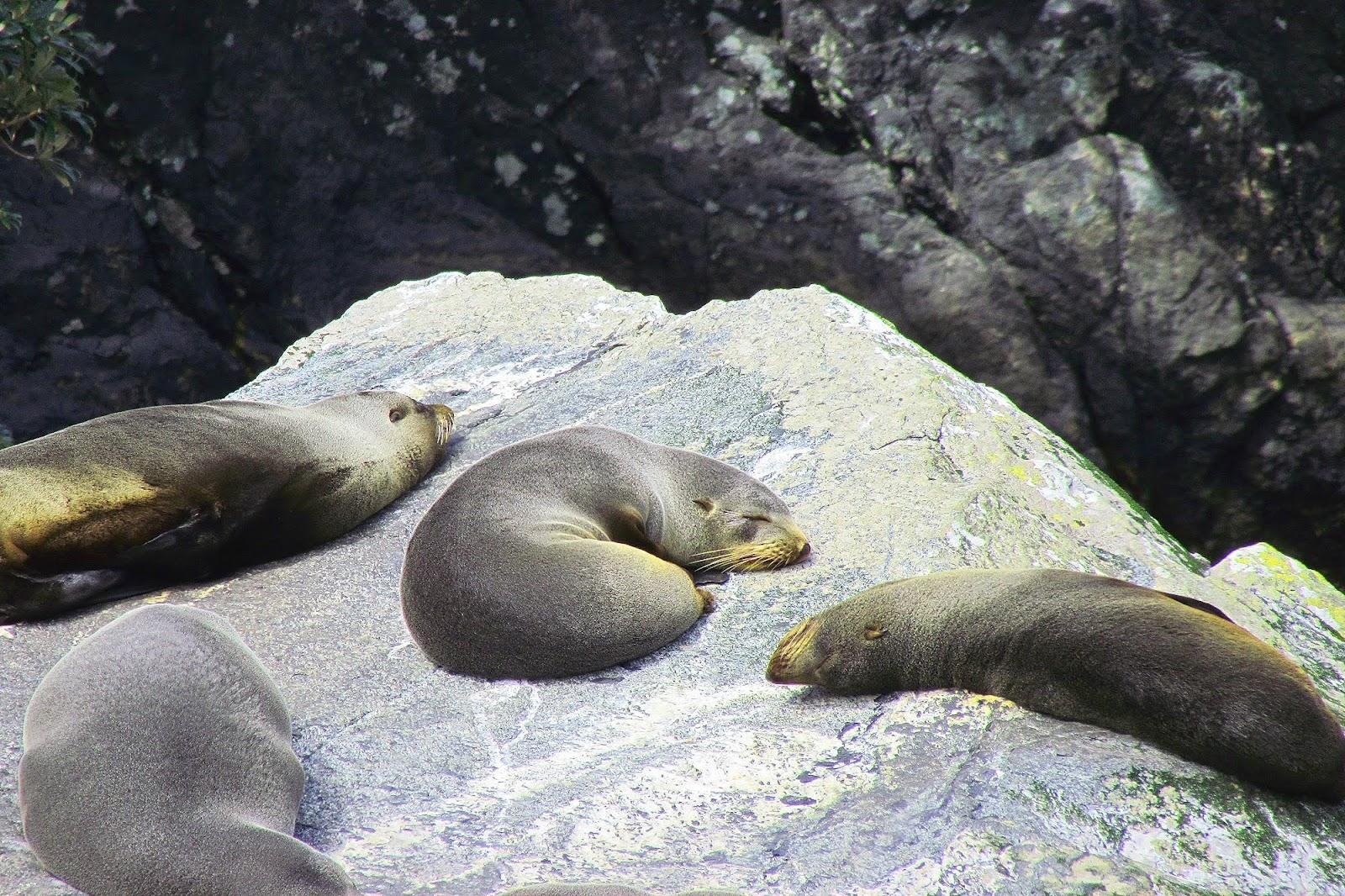 Milford Sound Seals on Rock 2.jpg