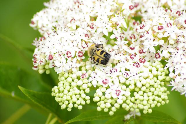 Scarabaeidae : Trichius rosaceus Voët, 1769. Les Hautes-Lisières (Rouvres, 28), 11 juin 2011. Photo : J.-M. Gayman