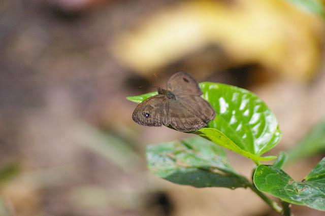 Ypthima pandocus sertorius FRUHSTORFER, 1911. Sukau (Sabah, Malaisie, Bornéo), 5 août 2011. Photo : J.-M. Gayman
