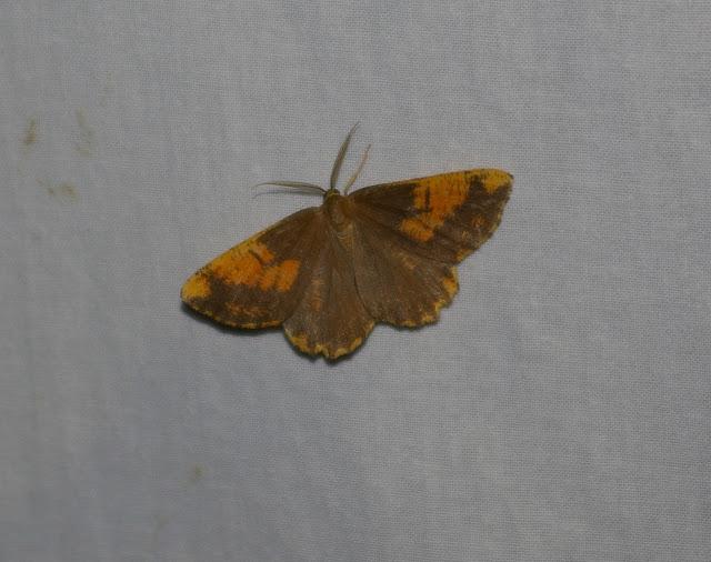 Ennominae : Angerona prunaria LINNAEUS, 1758 f. corylaria, mâle. Combe de l'Air, Forêt de Châtillon (Côte d'or), juin 2006. Photo : J.-M. Gayman