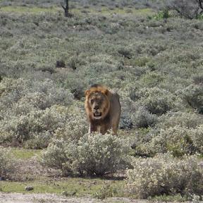 Mannetjes leeuw komt poolshoogte nemen