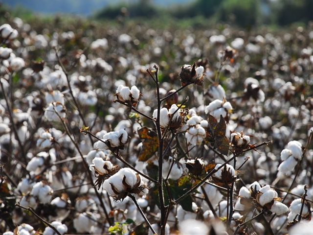 Cotton Cost-Share Program Starts Today