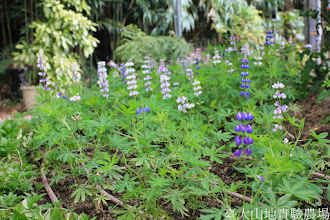 Photo: 拍攝地點: 梅峰-溫帶花卉區 拍攝植物: 羽扇豆(小精靈 一年生) 拍攝日期: 2014_12_17_FY