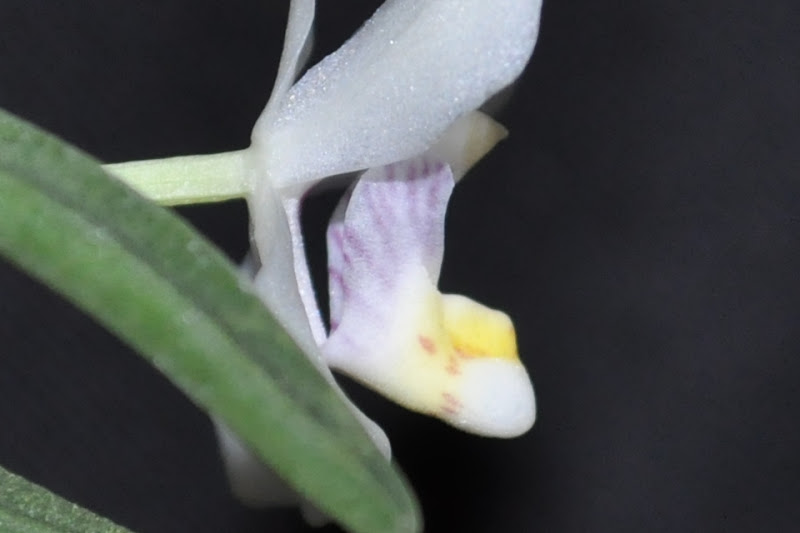 Ptecoceras semiteretifolia CSC_0008