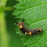 Chenille de Lymantriidae : Orgyia antiqua (L., 1758). Les Hautes-Lisières (Rouvres, 28), 10 juin 2013. Photo : J.-M. Gayman
