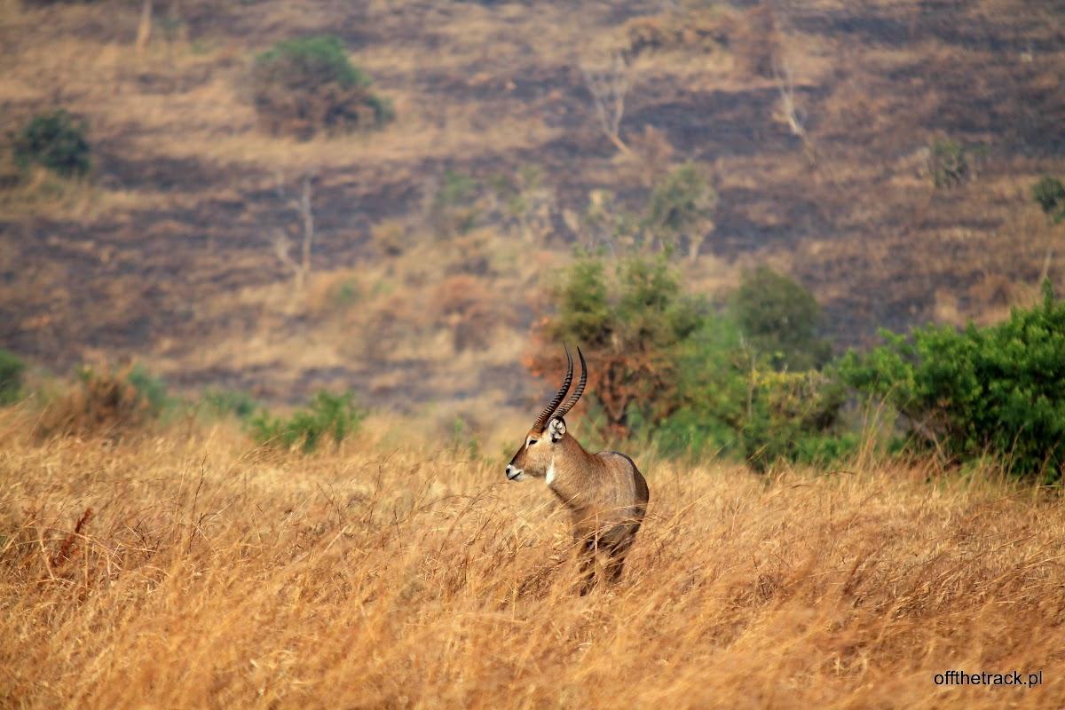Antylopa Kob waterbuck w oddali, park narodowy Murchison Falls, Uganda