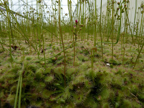 Photo: Drosera spatulata at the AG3 nursery in Eustis (Florida). All plants are produced by tissue culture.
