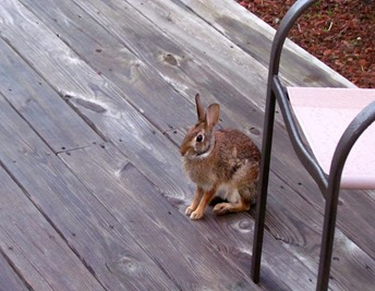 1701040 Jan 17 Bunny On Our Deck