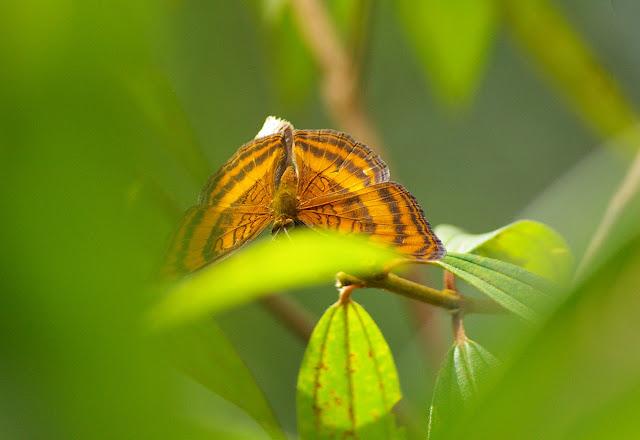 Junonia iphita viridis STAUDINGER, 1889. Sepilok, 10 août 2011. Photo : J.-M. Gayman
