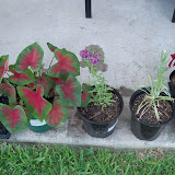 Gardening 2010, Part Three - 101_4916.JPG